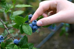 Close-up of a person picking blueberries