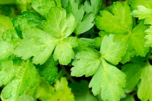Close-up of fresh parsley leaves